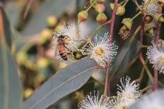 Les abeilles rassemblent le nectar d'eucalyptus (le miel) Image stock