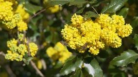 Les abeilles rassemblent le nectar sur le macro mouvement lent de fleurs jaunes banque de vidéos