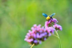 Les abeilles rassemblent le pollen Photo stock