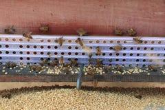 Les abeilles reviennent aux ruches pendant le sort de récolte d'abeilles volent près d'un certain nombre de ruches Images stock