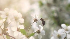 Les abeilles volent à l'arbre de floraison, mouvement lent banque de vidéos