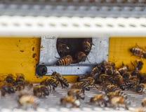 Les abeilles volent à l'entrée à la ruche Plateau de la ruche Entrée de trou à la ruche Image stock