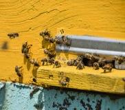 Les abeilles volent à l'entrée à la ruche Plateau de la ruche Entrée de trou à la ruche Photo libre de droits