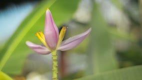 Les abeilles volent autour de la fleur de banane banque de vidéos