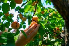 Les abricots mûrissent sur l'arbre Photographie stock