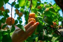 Les abricots mûrissent sur l'arbre Photo stock