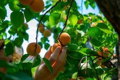 Les abricots mûrissent sur l'arbre Photo libre de droits