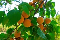 Les abricots mûrissent sur l'arbre Photographie stock libre de droits