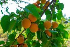 Les abricots mûrissent sur l'arbre Images libres de droits