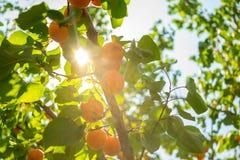 Les abricots mûrissent sur l'arbre Image stock