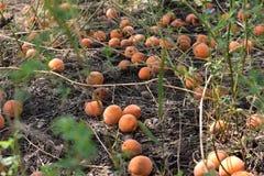 Les abricots mûrs sont sous l'arbre images stock