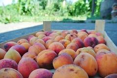 Les abricots oranges organiques mûrs ont emballé dans une caisse en bois photo libre de droits