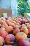 Les abricots oranges organiques mûrs ont emballé dans une caisse en bois photos libres de droits