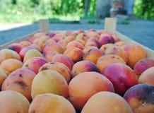 Les abricots oranges organiques mûrs ont emballé dans une caisse en bois photographie stock