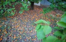 Les abricots tombés Image libre de droits