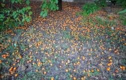 Les abricots tombés Images libres de droits