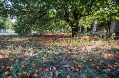 Les abricots tombés Photo libre de droits