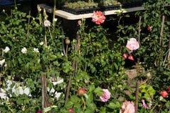 Les affaires d'arbre de Rose, roseraie, Rose fleurissent l'arbre en vente Images libres de droits
