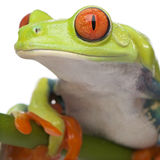 les agalychnis appellent la grenouille vers le haut étroitement observée arbre rouge photo libre de droits