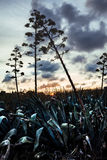 Les agaves de Blooming Photos stock