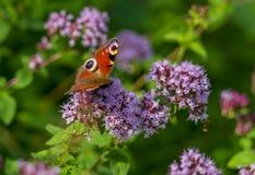 Les aglais E/S de papillon se repose sur les fleurs pelucheuses de la verveine, fleurissant en parc ou dans le domaine photo libre de droits
