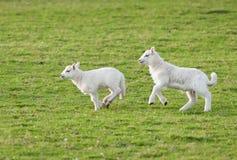 Les agneaux (Bélier d'Ovis) fonctionnent par le pâturage image stock