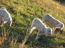 Les AGNEAUX du troupeau des moutons frôlent dans le pré Images stock