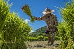 Les agriculteurs cultivent le riz Images libres de droits