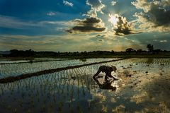Les agriculteurs cultivent le riz Thaïlande Photos libres de droits