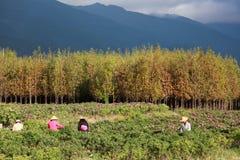 Les agriculteurs de la Chine moissonnent dans une ferme de rose Image stock