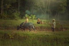 Les agriculteurs emploient le buffle pour labourer préparer le riz pour planter dedans images libres de droits