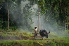 Les agriculteurs emploient le buffle pour labourer préparer le riz pour planter dedans photographie stock libre de droits