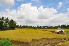 Les agriculteurs moissonnent le riz dans le domaine d'or au printemps, dans le Vietnam en septembre 2014 occidental Photographie stock