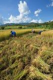 Les agriculteurs moissonnent leurs cultures brusquement pendant la saison de récolte dedans images stock