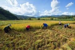 Les agriculteurs moissonnent leurs cultures brusquement pendant la saison de récolte dedans photographie stock libre de droits
