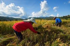 Les agriculteurs moissonnent leurs cultures brusquement pendant la saison de récolte dedans photo libre de droits