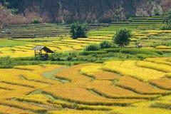 Les agriculteurs moissonnent leurs cultures brusquement pendant la saison i de récolte image stock