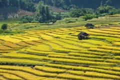 Les agriculteurs moissonnent leurs cultures brusquement pendant la saison i de récolte image libre de droits
