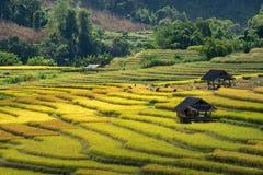 Les agriculteurs moissonnent leurs cultures brusquement pendant la saison i de récolte photographie stock libre de droits