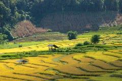 Les agriculteurs moissonnent leurs cultures brusquement pendant la saison i de récolte photos libres de droits
