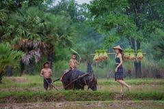Les agriculteurs plantent le riz dans la saison des pluies photographie stock libre de droits