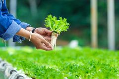 Les agriculteurs remet tenir les légumes frais, culture hydroponique, organique image stock