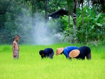 Les agriculteurs thaïlandais transplantent des jeunes plantes de riz sur le champ de complot chez Sako Image stock