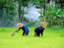 Les agriculteurs thaïlandais transplantent des jeunes plantes de riz sur le champ de complot chez Sako Photographie stock libre de droits