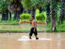 Les agriculteurs thaïlandais transplantent des jeunes plantes de riz sur le champ de complot chez Sako Image libre de droits