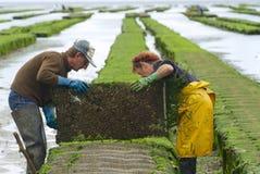 Les agriculteurs travaillent à la ferme d'huître à marée basse en Grandcamp-Maisy, France Images libres de droits