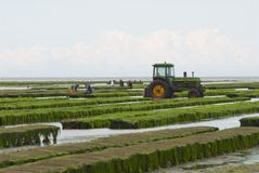 Les agriculteurs travaillent à la ferme d'huître à marée basse en Grandcamp-Maisy, France Photos stock