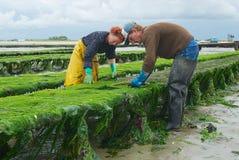 Les agriculteurs travaillent à la ferme d'huître à marée basse en Grandcamp-Maisy, France Image stock