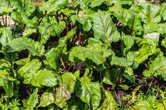 Les agrostides blanches vertes et humides de jeunes betteraves s'élevant sur le sol brun dans le jardin en été image libre de droits