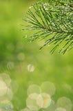 Les aiguilles de pin avec de l'eau se laisse tomber après une douche de pluie photos stock